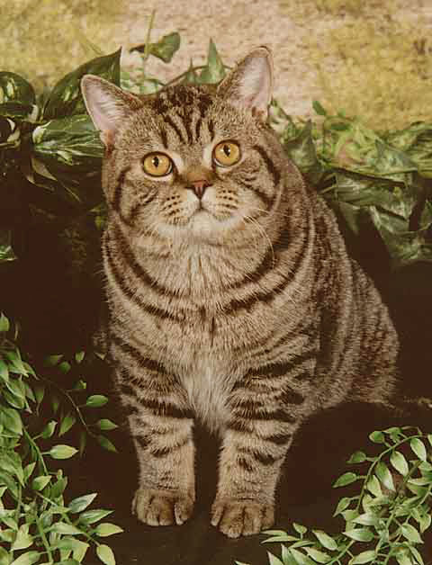 British shorthair brown tabby cats